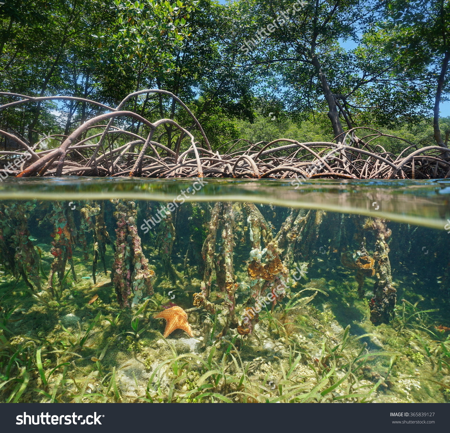 Mangrove Tree Roots Above Underwater Split Stock Photo 365839127.