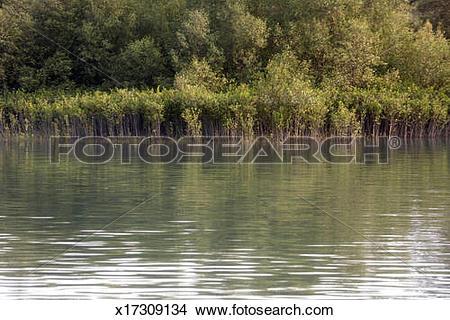 Stock Photo of Mangrove trees,Riverside,Sundarban x17309134.