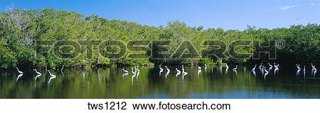 Stock Photo of Snowy egrets feed at mangrove lined Mrazek Pond.
