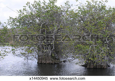 Stock Image of Pond apple, Annona glabra, grows in mangrove swamps.