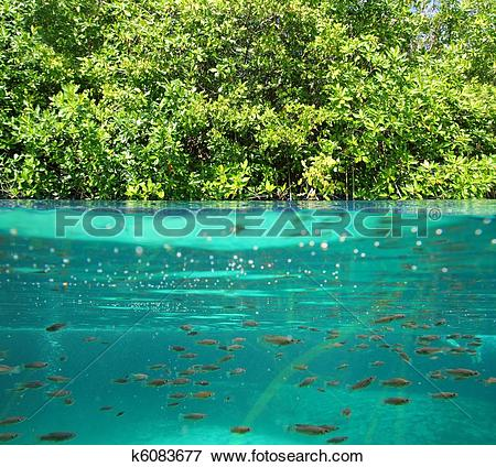 Picture of mangrove up down waterline real ecosystem k6083677.