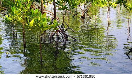 Mangrove Stock Photos, Royalty.