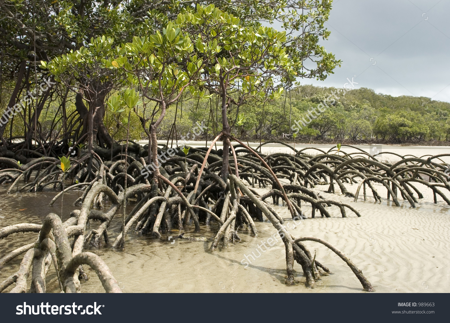Mangrove Tree Standing In Sand At Cape Tribulation In Australia.