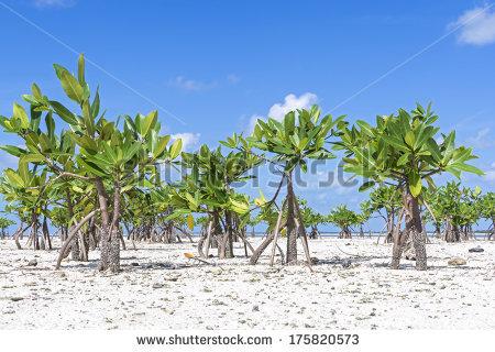 Mangrove Tree Stock Photos, Royalty.