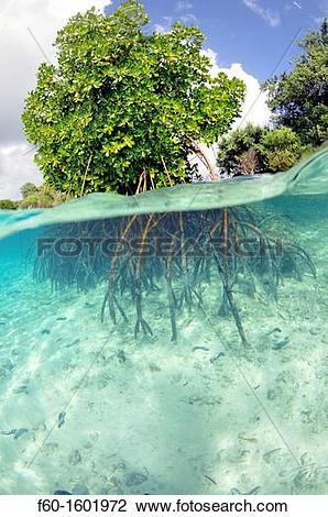 Stock Photo of Mangrove, Rhizophora sp , in sand patch, U Province.