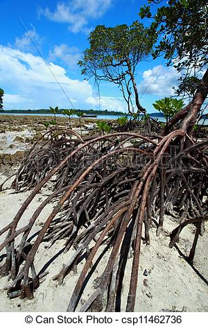 Stock Photos of Mangrove tree in Havelock Island in Andamans.