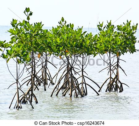 Picture of Mangrove plant in sea shore aerial roots csp16243674.