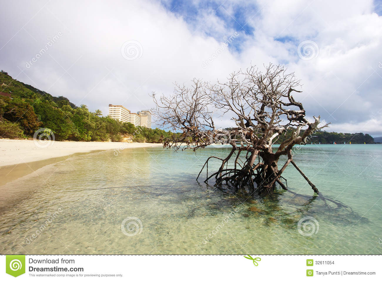 Dead Mangrove Tree On Beach Stock Images.