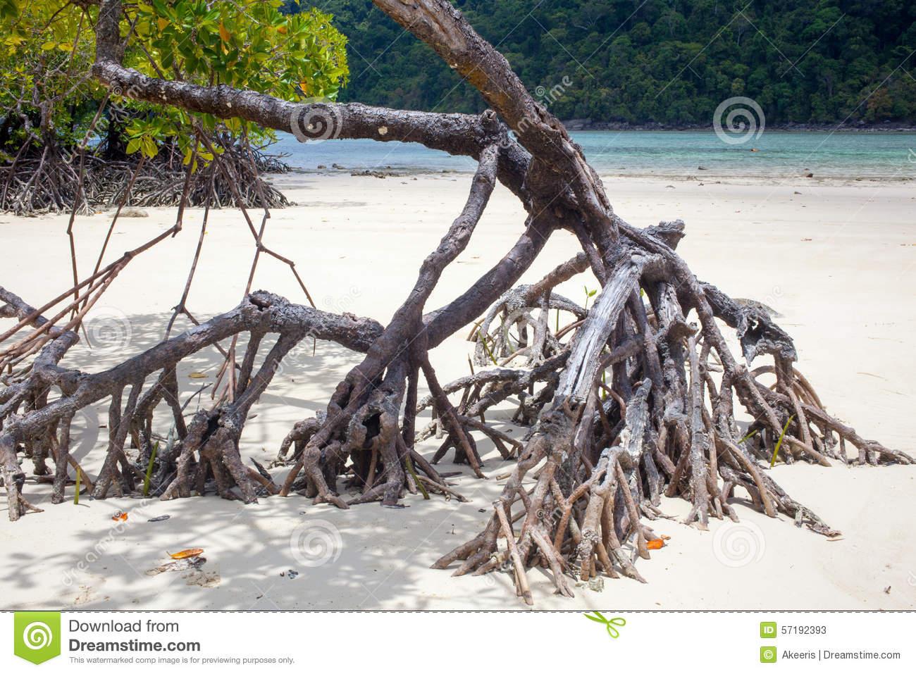 Beach Mangrove Tree Stock Photo.