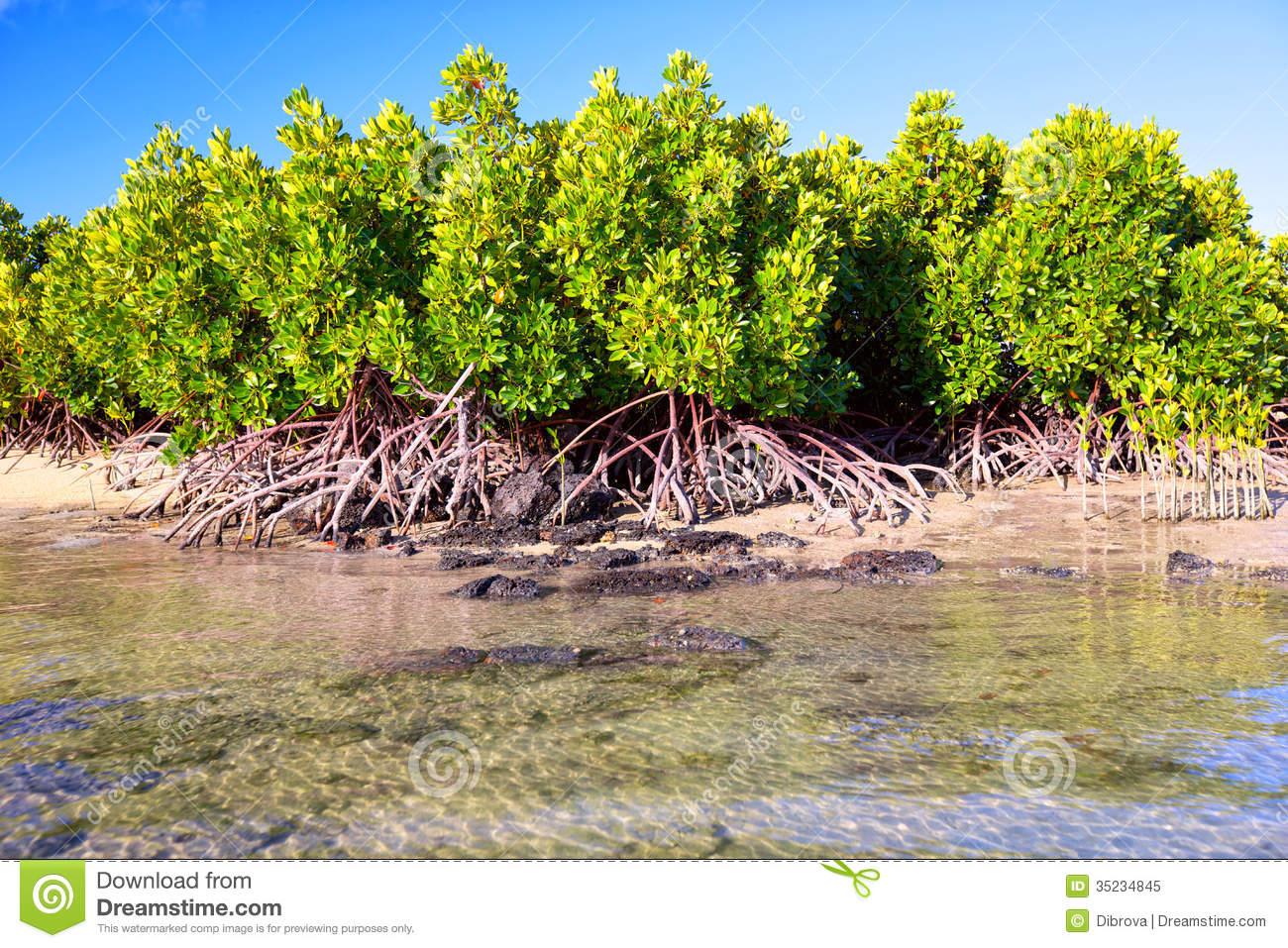 Mangrove Plants Royalty Free Stock Photo.