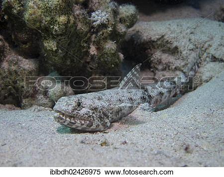 "Stock Image of ""Sand Lizardfish (Synodus dermatogenys), Mangrove."