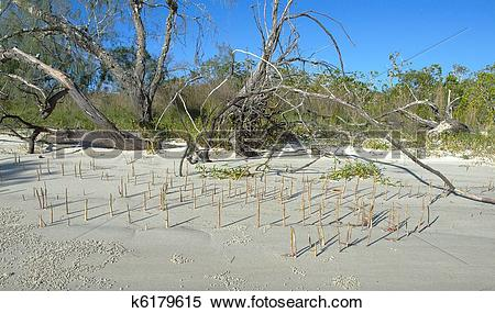 Stock Image of Driftwood, deadwood and mangrove shoots on white.