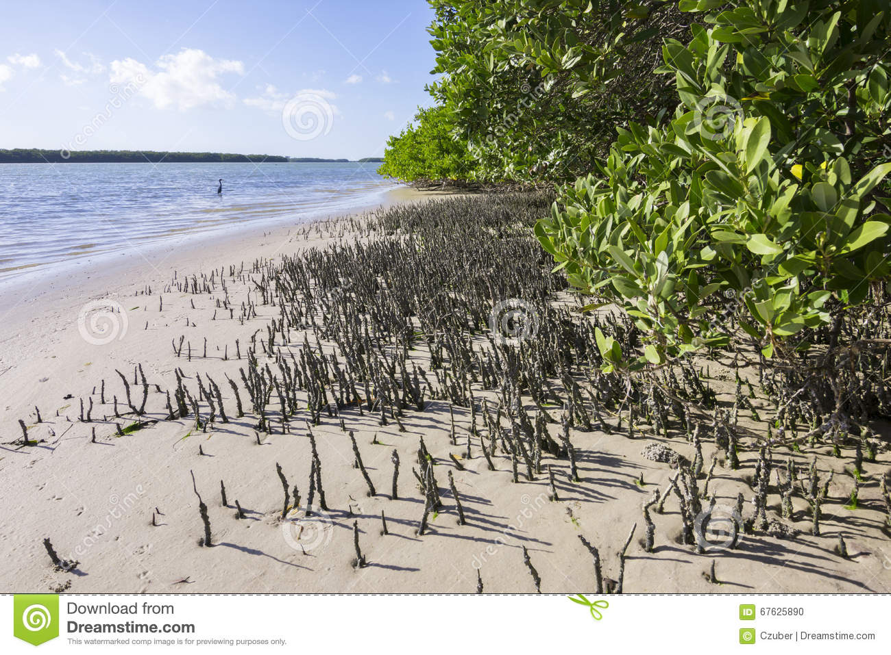 Snorkel Roots Of Black Mangroves In Florida Stock Photo.