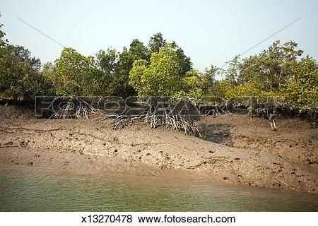 Pictures of Mangrove trees,Riverside,Sundarban x13270478.
