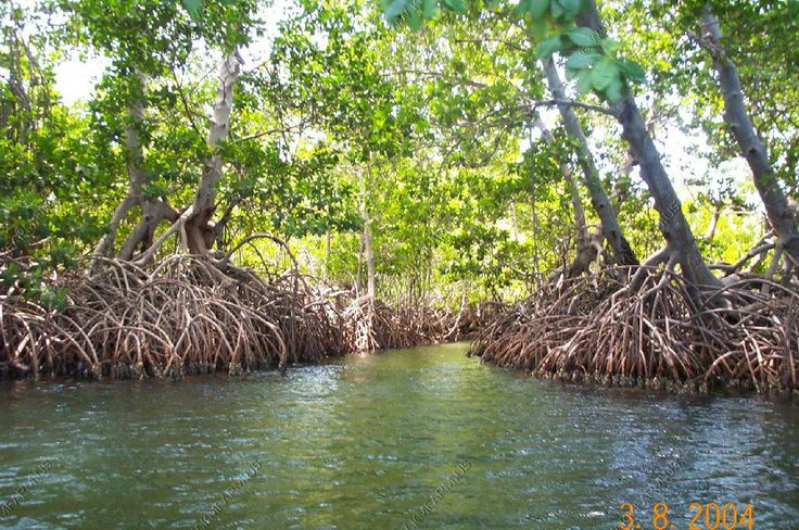 Mangrove Swamps.Honeymoon.