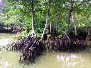 mangrove swamps.