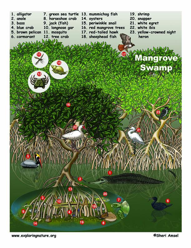 mangrove_swamp72.jpg.