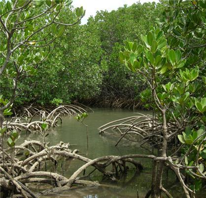 Mangrove plants.