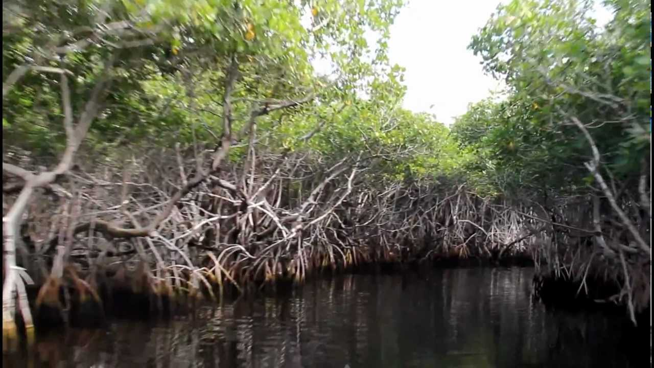 Long airboat ride through a mangrove swamp with an alligator.