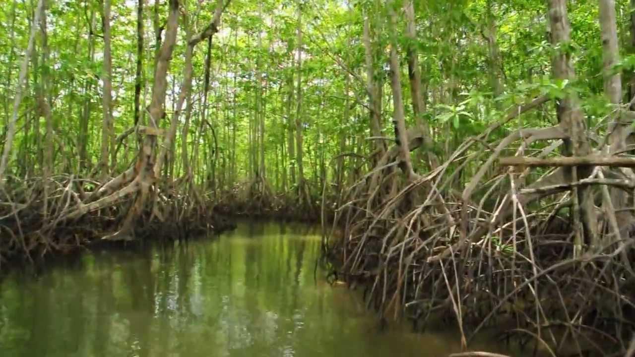 Mangrove Swamp in Osa Península, Costa Rica.