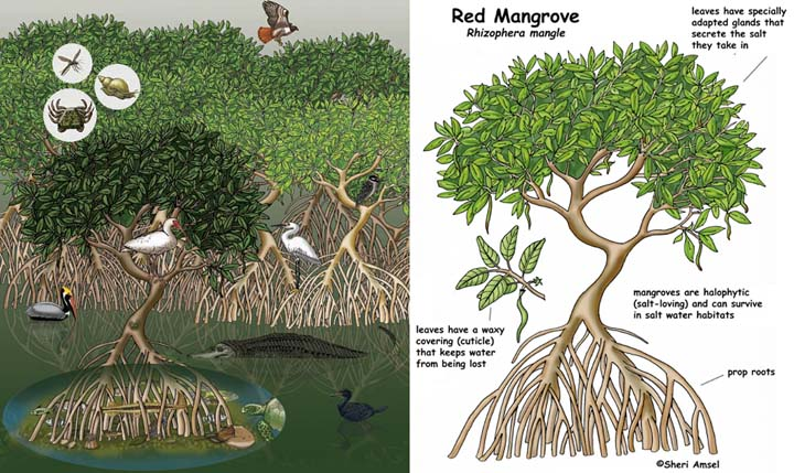 Mangrove Swamp.