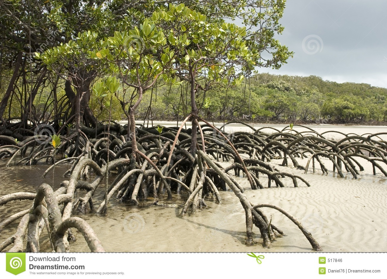 Mangrove Stock Photos, Images, & Pictures.