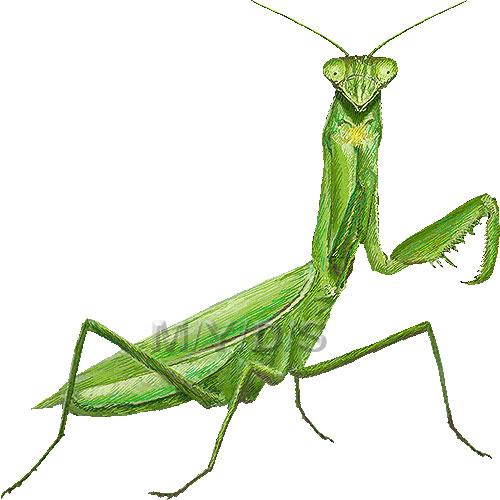 Best Mantis Clipart #24552.