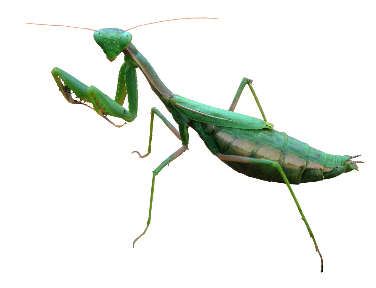 Mantis PNG Free Image.