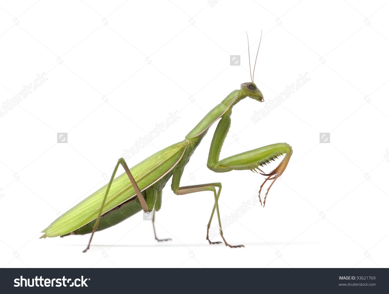 Female European Mantis Praying Mantis Mantis Stock Photo 93621769.