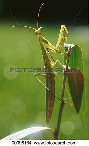 Stock Photo of European, European preying mantis, Juniors.