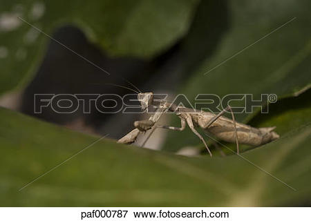 Picture of Croatia, Praying mantis, Mantis religiosa, on leaf.