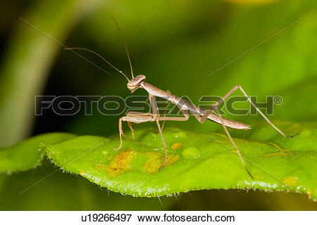 Picture of baby praying mantis religiosa hatchling young va.