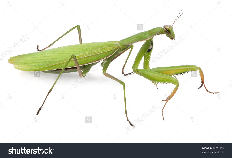 Female European Mantis Praying Mantis Mantis Stock Photo 93621772.