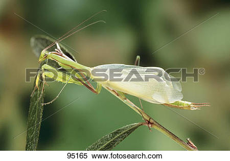 Stock Image of European Mantis / Mantis religiosa 95165.