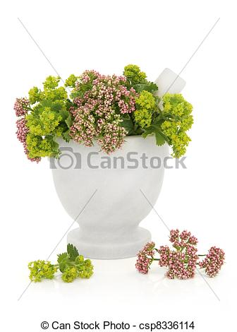 Stock Photo of Valerian and Ladys Mantle Herbs.