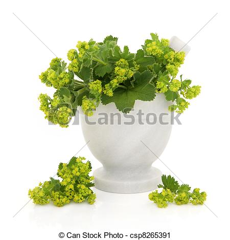Stock Photography of Ladies Mantle Herb Flowers.