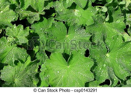 Stock Photography of The Herb, Ladies Mantle.