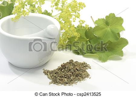 Stock Images of Tea of ladys mantle.