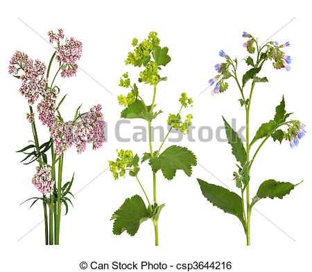 Stock Image of Medicinal Herbs in Flower.