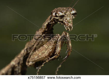 Picture of Praying mantis (order Mantodea) head and forelimbs.