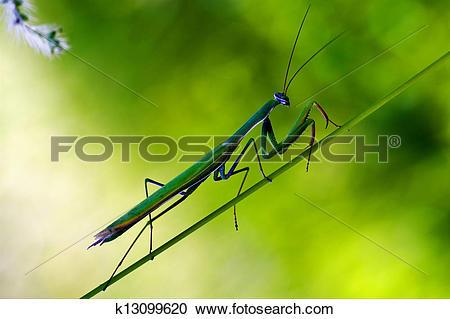 Stock Photography of praying mantis mantodea on a green k13099620.