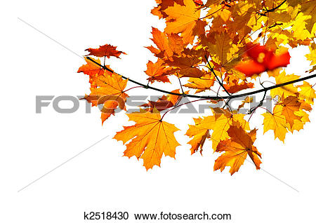 Stock Photography of Maple branch with fall leaves k2518430.