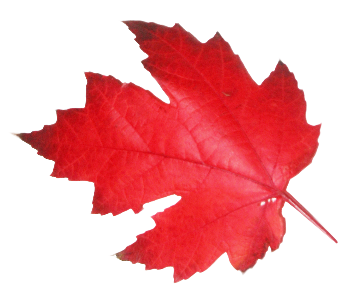 Maple Leaf PNG Transparent Image.