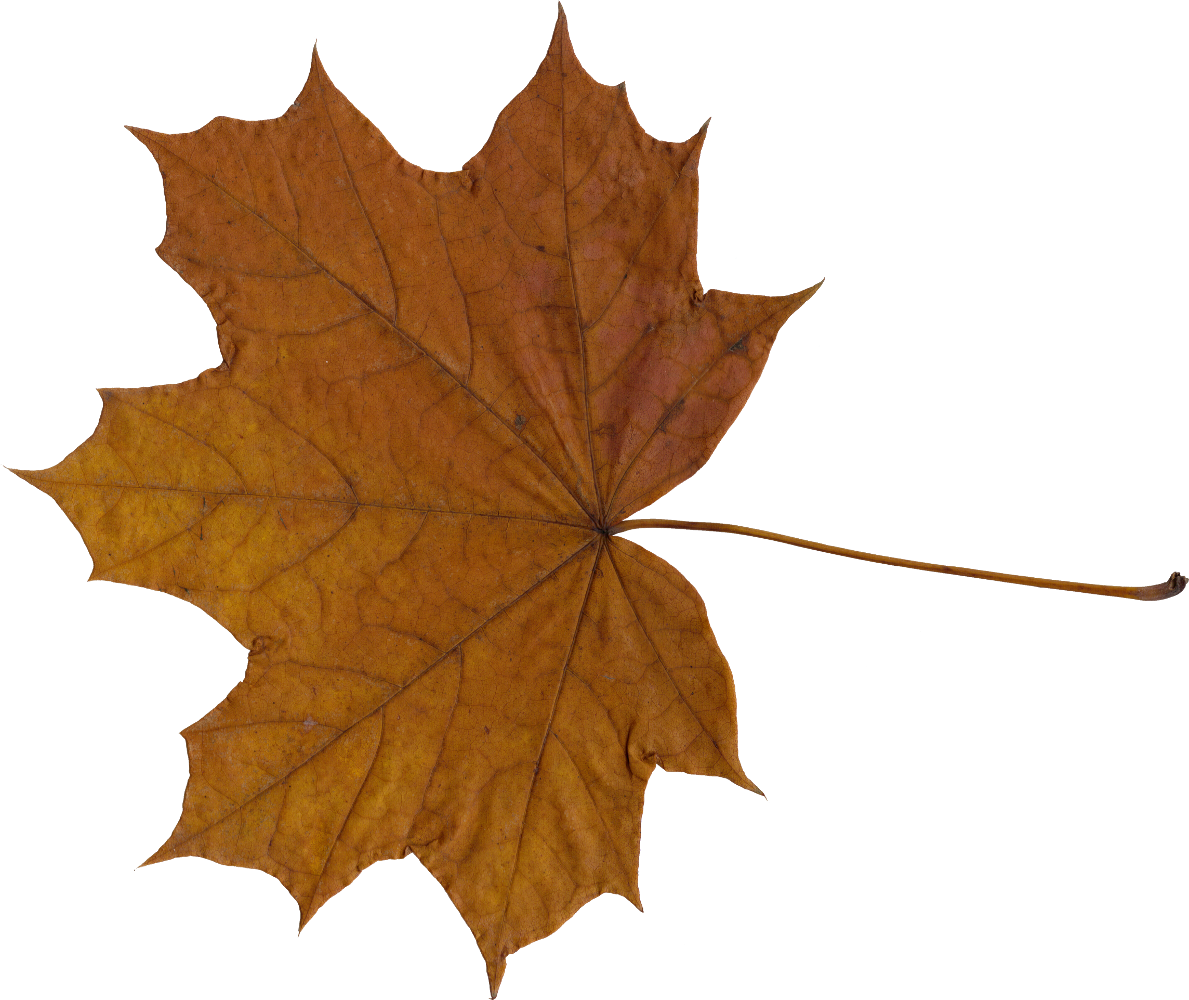 10 Maple Leaves (PNG Transparent).