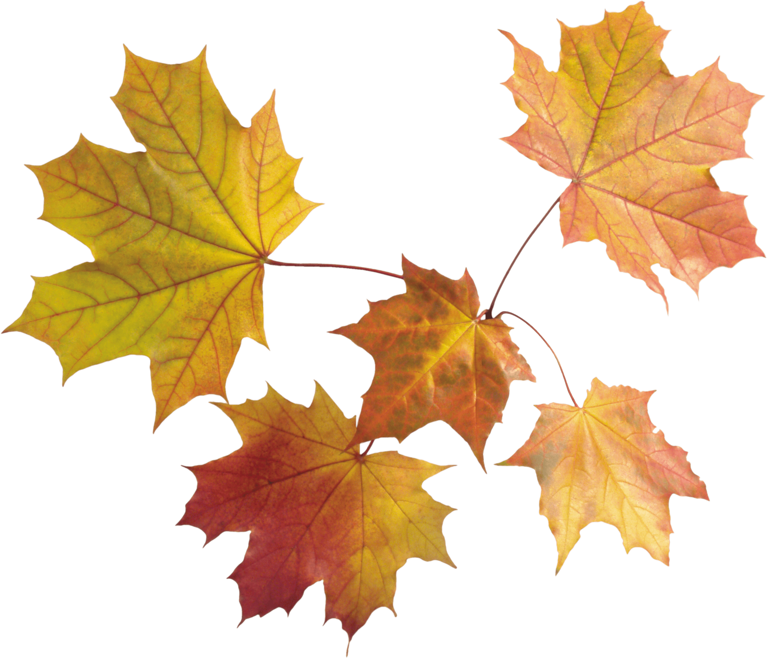Maple Leaves Group transparent PNG.