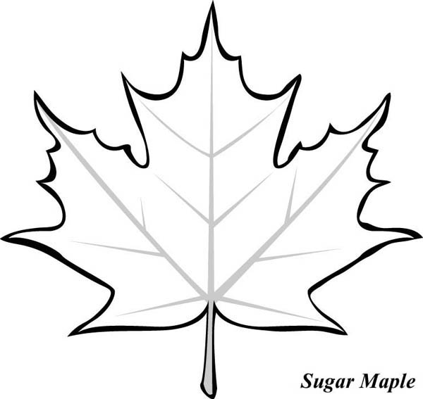 Sugar Maple Leaf Clipart.