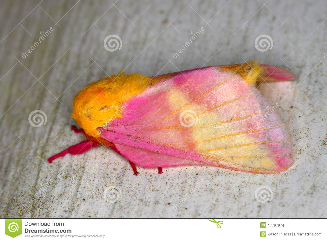 Rosy Maple Moth (Dryocampa Rubicunda) Royalty Free Stock.