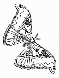 Rosy Maple Moth Clip Art Download.
