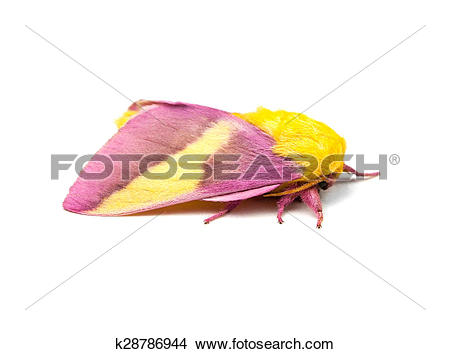 Stock Photo of Rosy Maple Moth Isolated k28786944.
