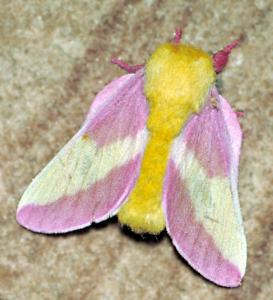 Rosy Maple Moth Clip Art Download.
